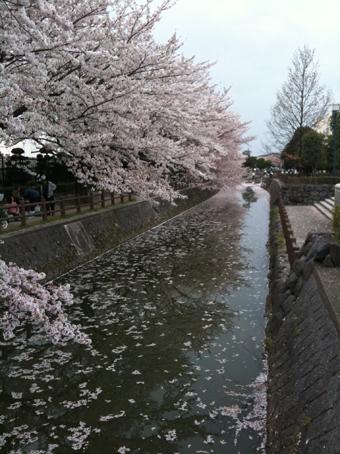 saitama_sakura01.jpg